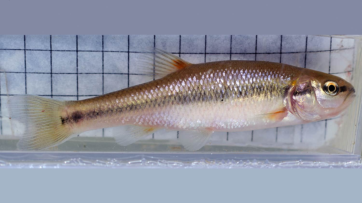 Urban creek chub fish