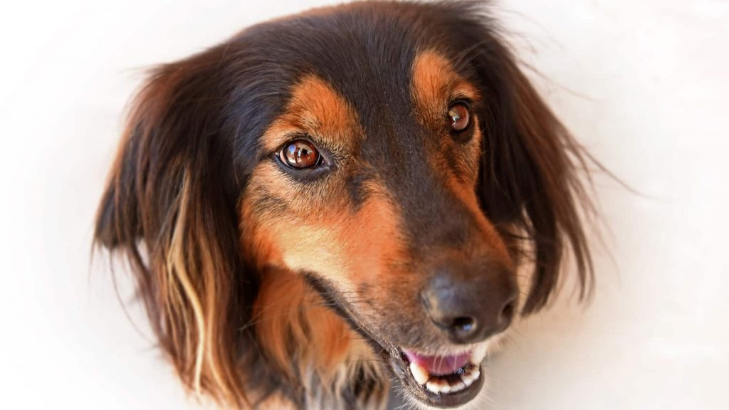 Close-up of a dog's face with a hopeful expression