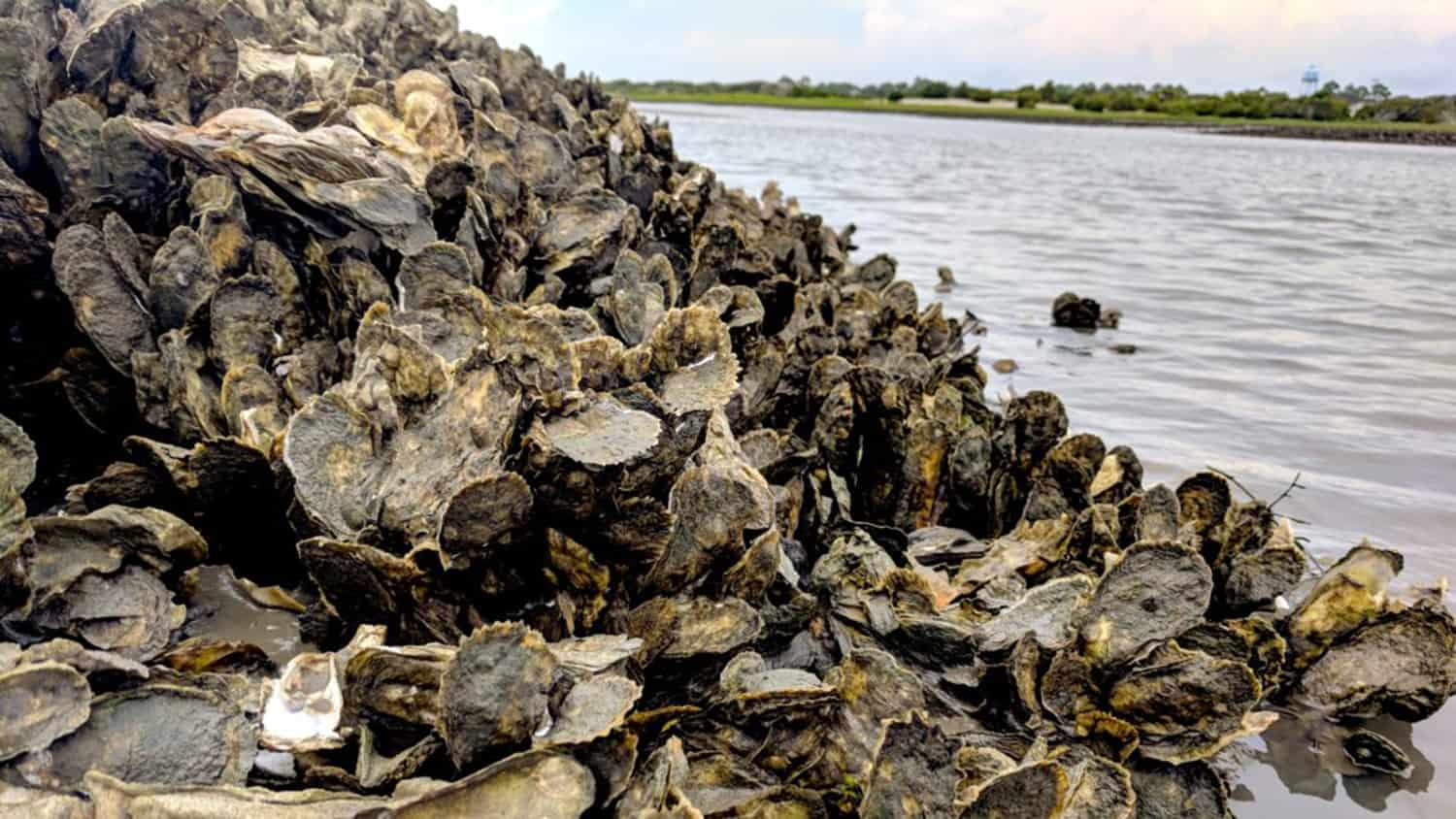 an oyster reef revealed by low tide
