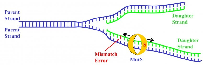 Protein MutS inspects newly replicated DNA for errors