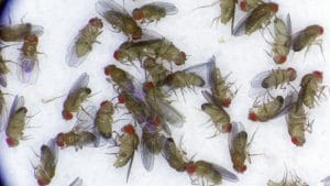 Fruit flies in the Mackay lab