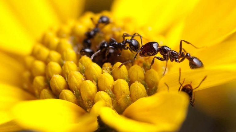 Ant antibiotic research