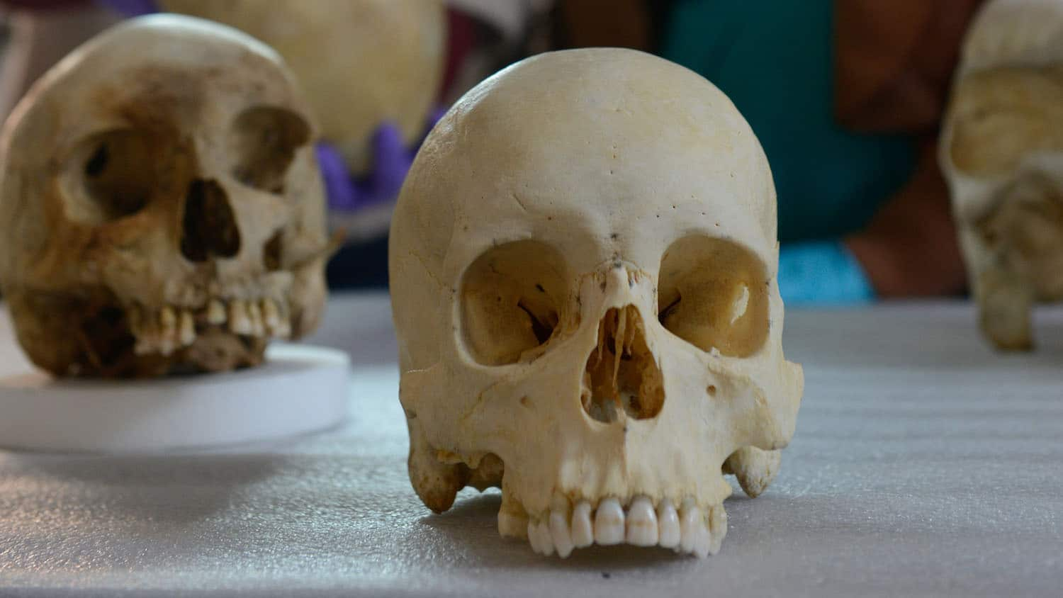 Human skulls on a table in Ann Ross's lab