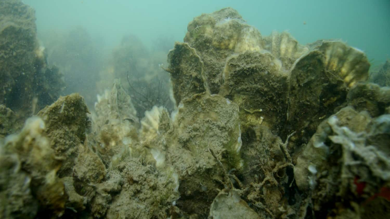 Undersea oyster sanctuary photo