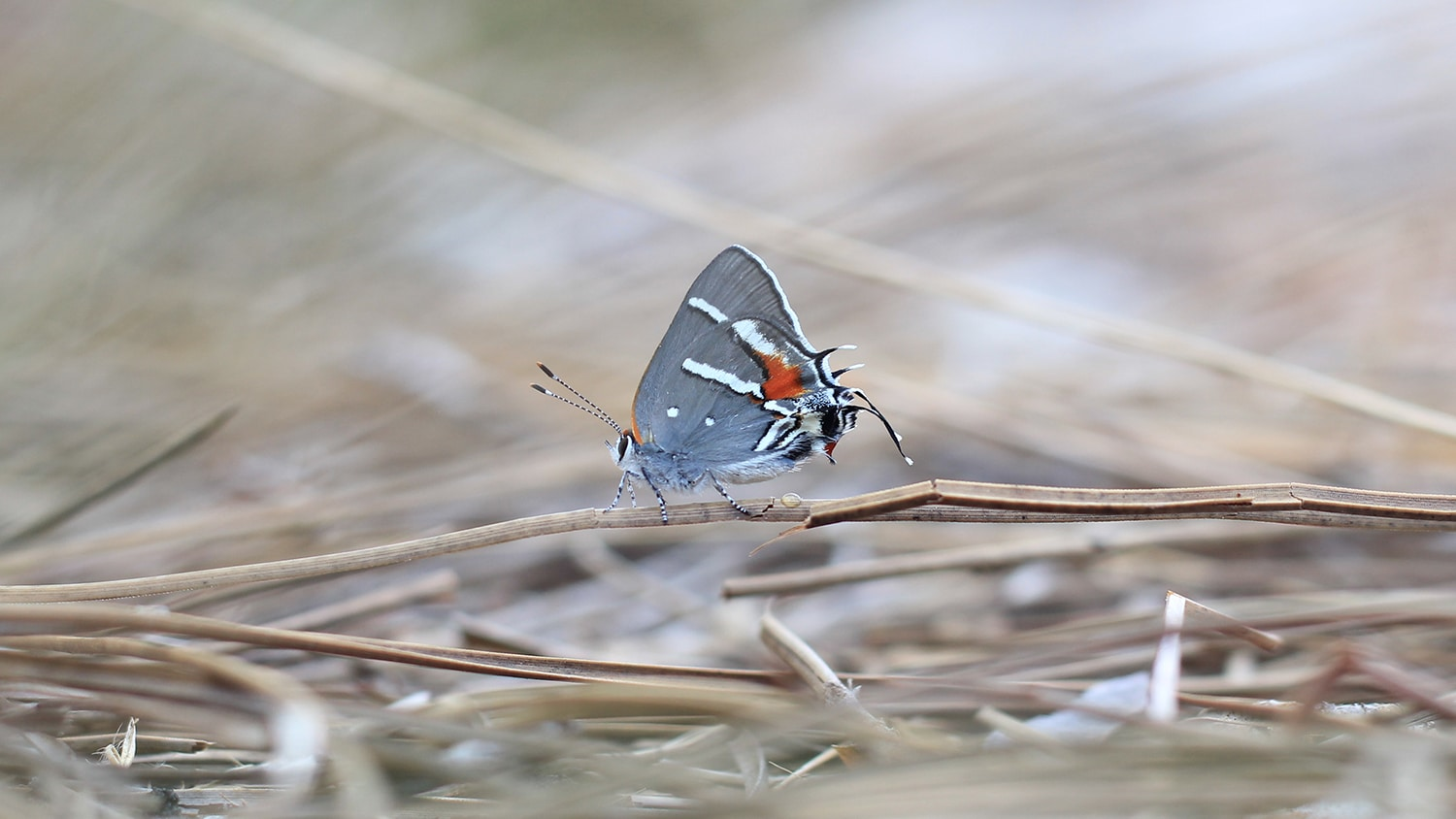 butterfly resting on dry grass