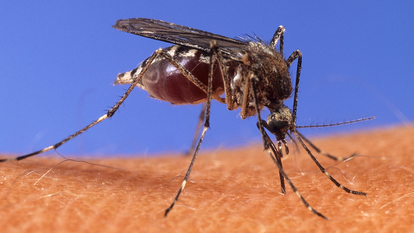 A mosquito poised on a human arm