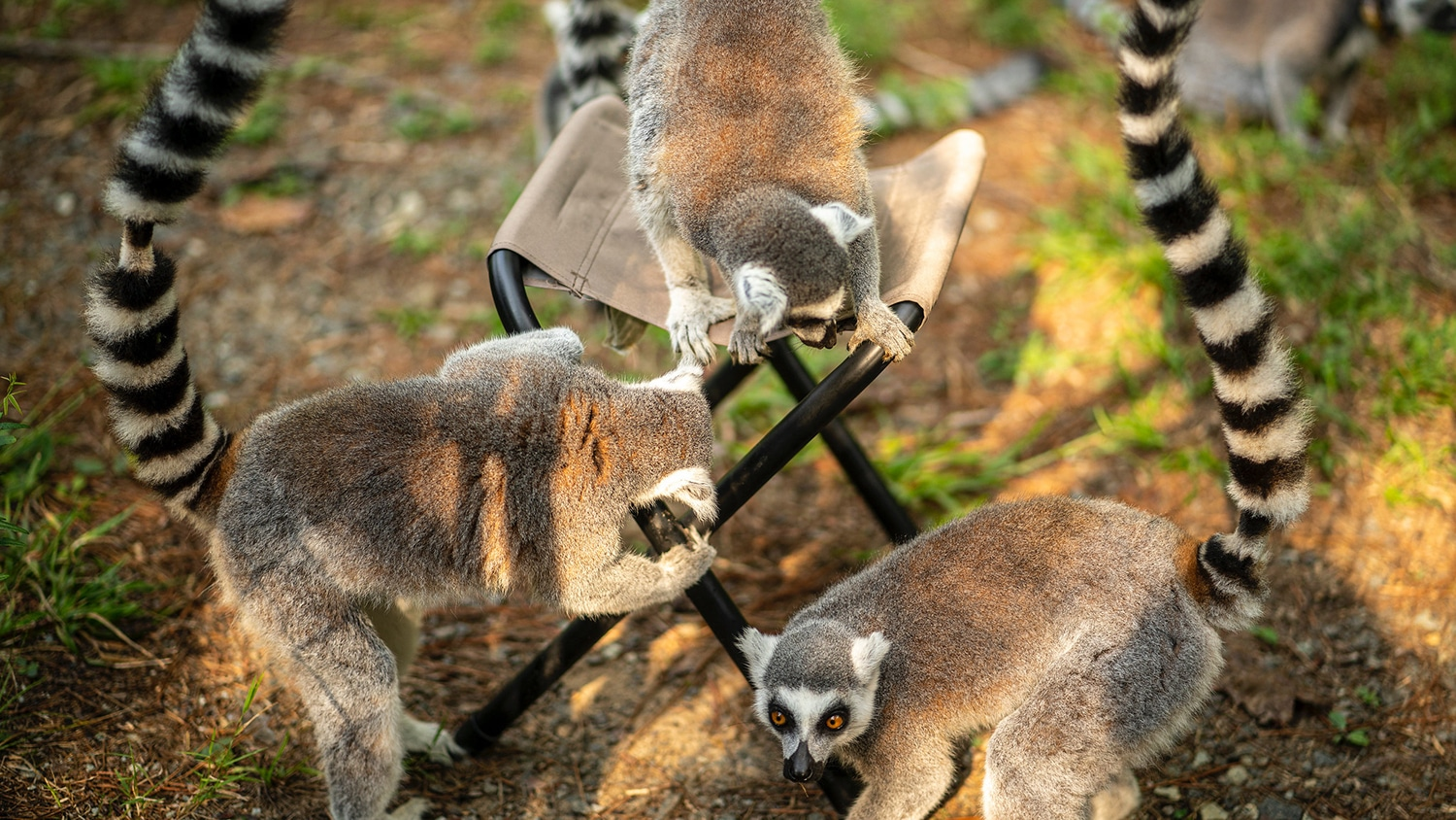Three lemurs crawl on and around a small stool in a forest